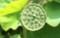 いわゆる「蜂巣(はちす)」も…(30.7.30)