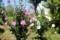 「ムクゲ(木槿)」の花が見頃に…。(30.8.3)