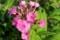 「盆花(ぼんばな)」と呼ばれる、「クサキョウチクトウ(草夾竹桃)