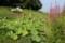 「盆花・ミソハギ(禊萩)」も咲いて。(30.8)