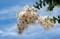 涼し気な白花種の「サルスベリ」の花。((30.8.5)