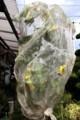 「ヒマワリ(向日葵)」の果実をネットで包んで、鳥避けに…。(30.8.6)