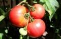 真っ赤に完熟したトマト。(30.8)