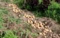 「キタアカリ・ジャガイモ」の収穫。(30.8.7)