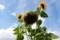 完熟近い「ヒマワリ(向日葵)」の頭花。(30.8.10)