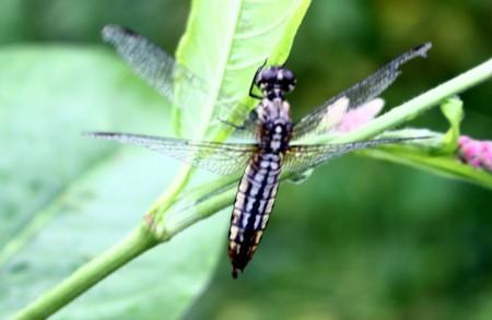 翅を休める「ハラビロトンボの雌」。(30.8.11)