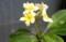 「プルメリア」お鉢花。(30.8.12)