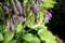 我が家にとって、「ギボウシュ(擬宝珠)」も「盆花。(30.8.16)