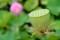 花後の果実・「はちす(蜂巣)」。(30.8.16)