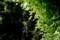 秋の日差しに輝く、「緑のカーテン・ゴーヤ」の葉。830.8.17)