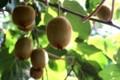 我が家の「キウイフルーツ・ヘイワード種」(30.8)