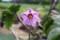 「ナス(茄子)」の花。(30..8.19)