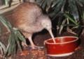 ニュージーランドの国鳥・キウイ。(30.8)