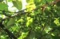 果実が鈴生りの「サルナシ(猿梨)栽培棚。(30.8.21)