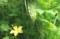 どんどん生る「緑のカーテン・ゴーヤ」の見。(30.8.22)