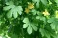 繁茂し日差しを遮る「緑のカーテン・ゴーヤ」。(30.8.22)