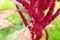 「アマランサス」の果実も完熟…。(30.8.28)