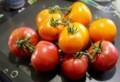 朝採りの「完熟トマト」。(30.8.24)