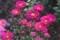懐かしさを覚える花・「アスター・東菊」。(30.8.24)