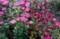 懐かしい花・「アスター・東菊」。(30.8.24)