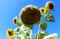「ヒマワリ(向日葵)」完熟の頭花。(30..8.259