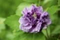 「紫玉(しぎょく)」と思われ、お気に入りの「ムクゲ(木槿)」。(