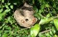 駆虫処理済みの、「スズメバチ」の巣。830.8.31)