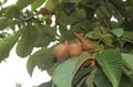 「トチノキ」の果実も熟して…。(30...8.31)