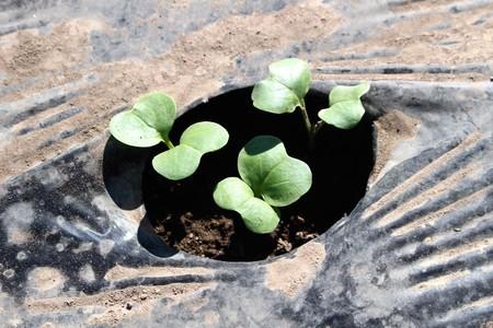 播種4日語、「ダイコン(大根)」の芽生え。(30.9.3)