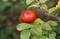 「ハマナス(浜茄子)」の赤い実にビックリ。(30.9.5)