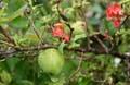 返り咲き、朱赤色の果実・「クサボケ(草木瓜)」。(30.9.7)