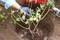 「賢治のバラ」を移植、シンボルに…。(30.9.7)