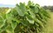 「サトイモ(里芋)」は、大きく葉を伸ばし…。(30.9.10)