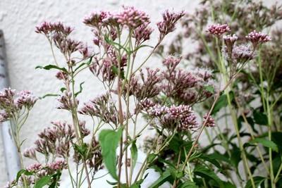 咲き始めた「フジバカマ(藤袴)」。830.9.11)