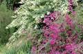 「ハギ(萩)」、赤・白の花。830.9.11)