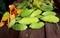 「緑のカーテン・ゴーヤ」、収穫した果実。(30.9.13)