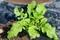 大根の葉に、殺虫剤かけ…。(30.9.16)
