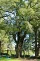 実をつけた「エノキ(榎)」の大木、(30.9.16)