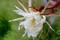 朝に観られた「ゲッカビジン(月下美人)」の花。(30.9.209
