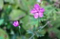 開花が少ない、「我が家のアサマフウロ(浅間風露)」(30.9.20)