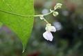 雨中に咲いた伝統野菜・「つるささげ豆」・(30.9.21)