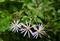 霧雨に濡れて、「ノコンギク(野紺菊)」の花が…。830.9.22)