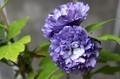 お気に入りの「ムクゲ(木槿)・紫玉」。(30.9.22)
