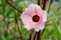 ハイビスカス・ティー用の「ハイビスカス」の花。(30.9.24)