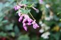 雨に濡れる、我が家の「咲き分け・染め分け種」(30.9..27)