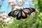 翅を全開、真正面からの「アサギマダラ(浅葱斑)」(30.9.28)