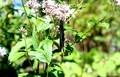 「フジバカマ(藤袴)」の花に、あの蝶が止まって。(30.9.28)
