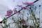 背丈以上に伸びた、裏道花壇の「コスモス」(30.9.30)