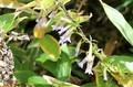 「ホソバノツルリンドウ(細葉蔓竜胆)」の花。(30.10.3)