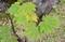 「ハウチワカエデ(羽団扇)」の葉。(30.10.4)